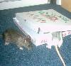 Rattenviech